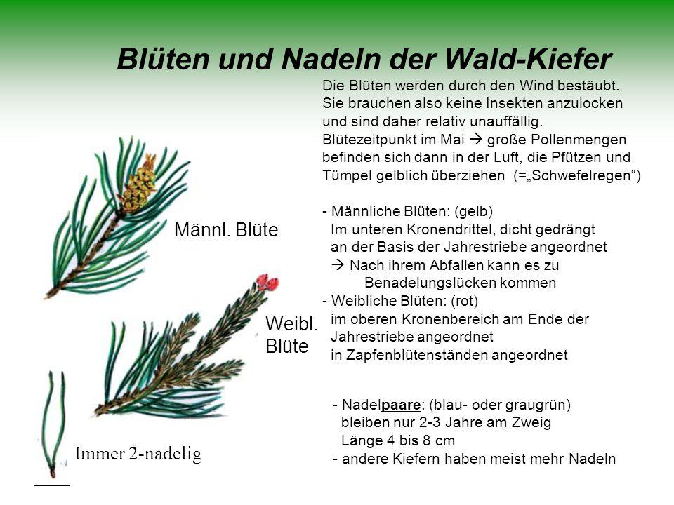 Blüten und Nadeln der Wald-Kiefer