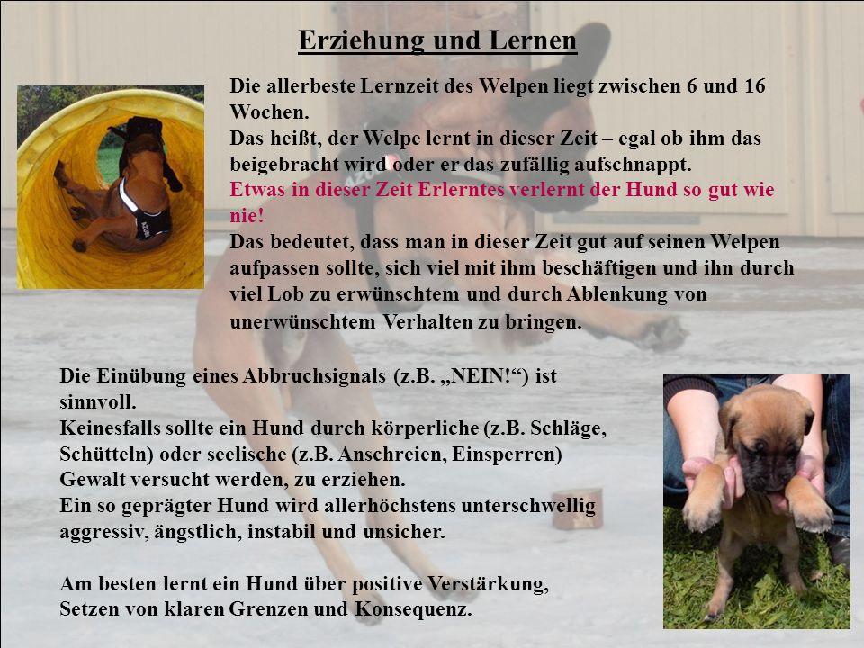 Erziehung und Lernen Die allerbeste Lernzeit des Welpen liegt zwischen 6 und 16 Wochen.