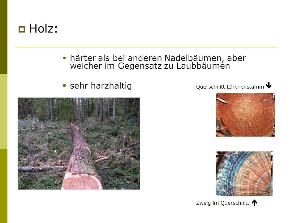 Holz: härter als bei anderen Nadelbäumen, aber weicher im Gegensatz zu Laubbäumen. sehr harzhaltig Querschnitt Lärchenstamm 