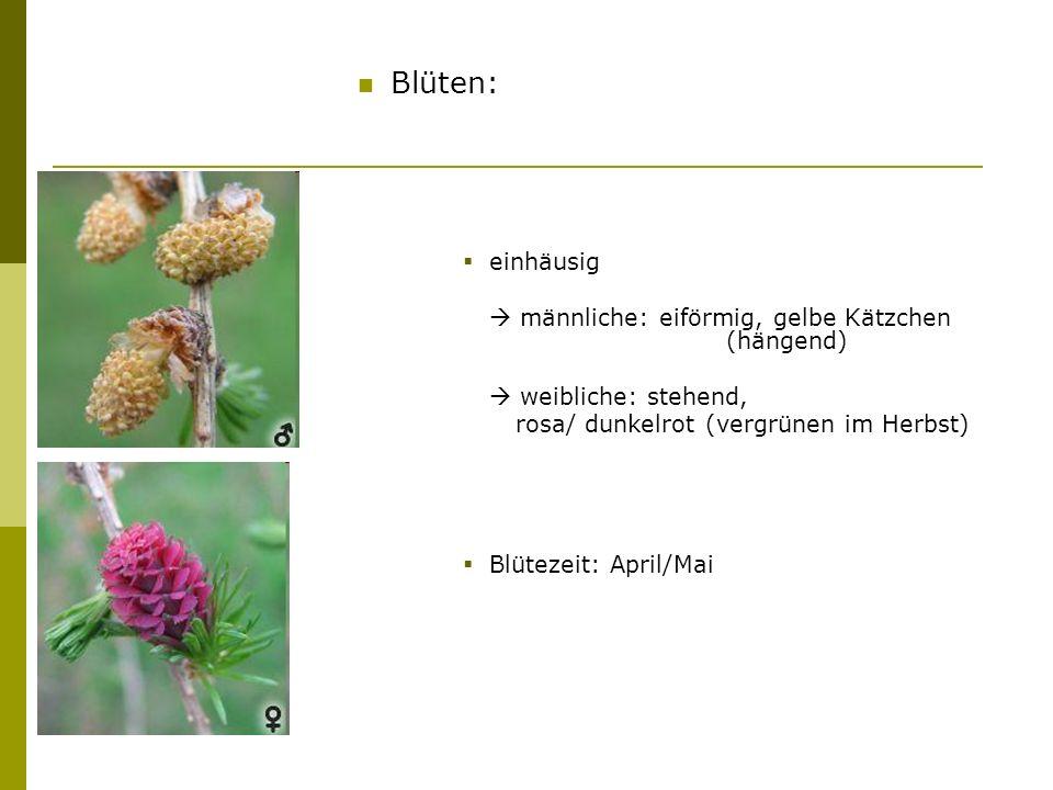 Blüten: einhäusig  männliche: eiförmig, gelbe Kätzchen (hängend)