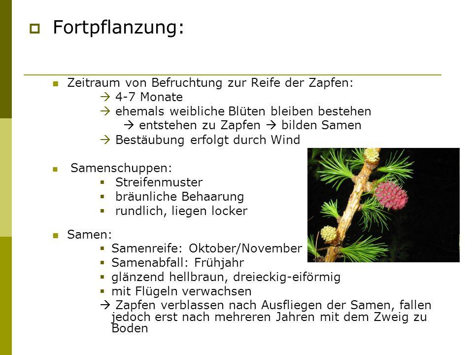 Fortpflanzung: Zeitraum von Befruchtung zur Reife der Zapfen: