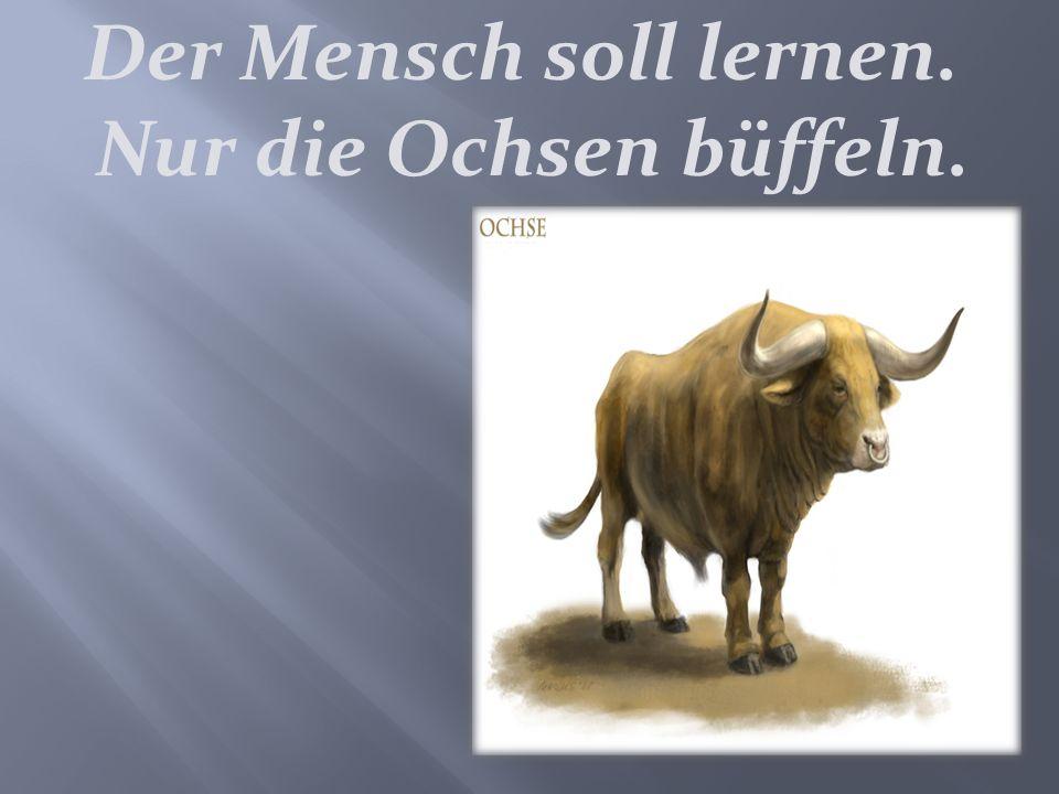 Der Mensch soll lernen. Nur die Ochsen büffeln.