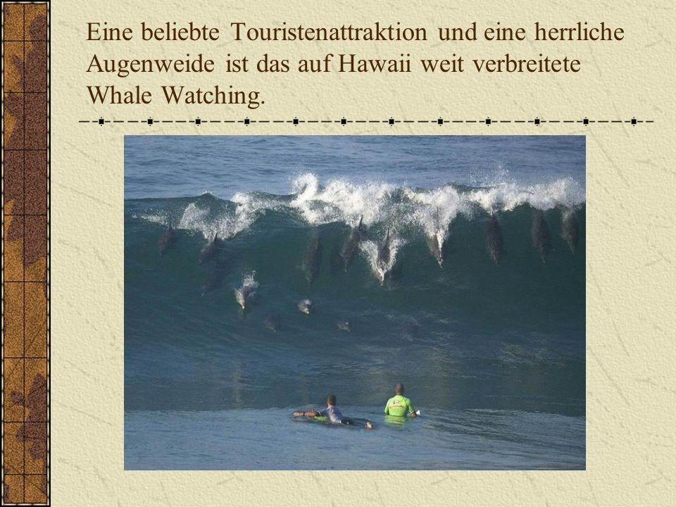 Eine beliebte Touristenattraktion und eine herrliche Augenweide ist das auf Hawaii weit verbreitete Whale Watching.