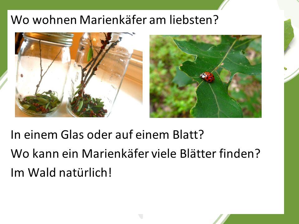 Wo wohnen Marienkäfer am liebsten. In einem Glas oder auf einem Blatt