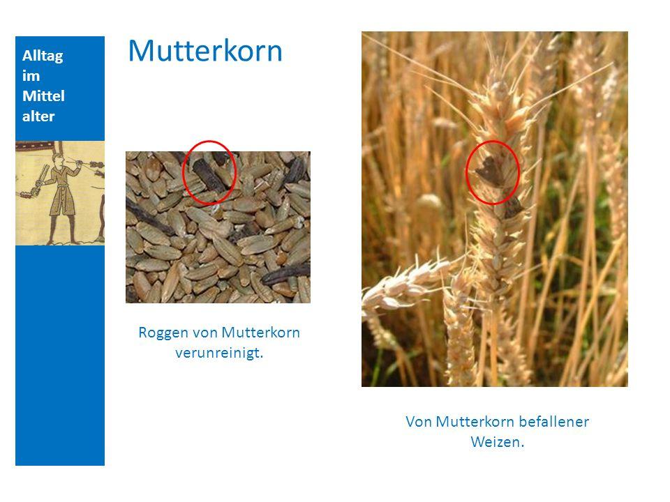 Mutterkorn Alltag im Mittelalter Roggen von Mutterkorn verunreinigt.