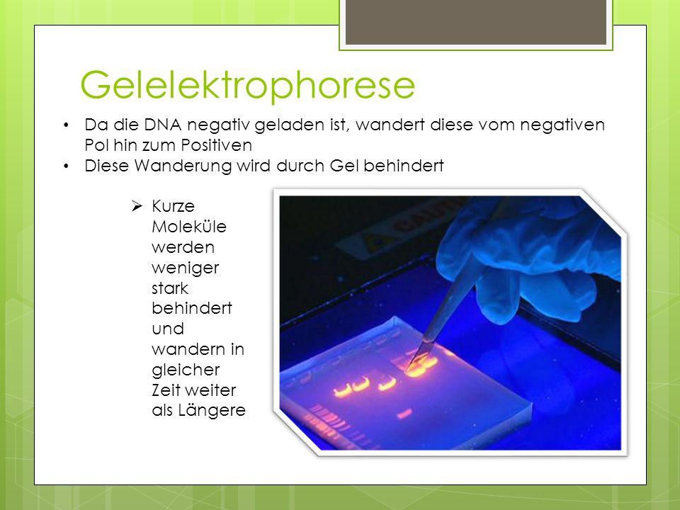 Gelelektrophorese Da die DNA negativ geladen ist, wandert diese vom negativen Pol hin zum Positiven.
