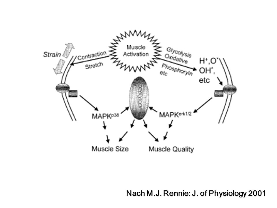 Nach M.J. Rennie: J. of Physiology 2001