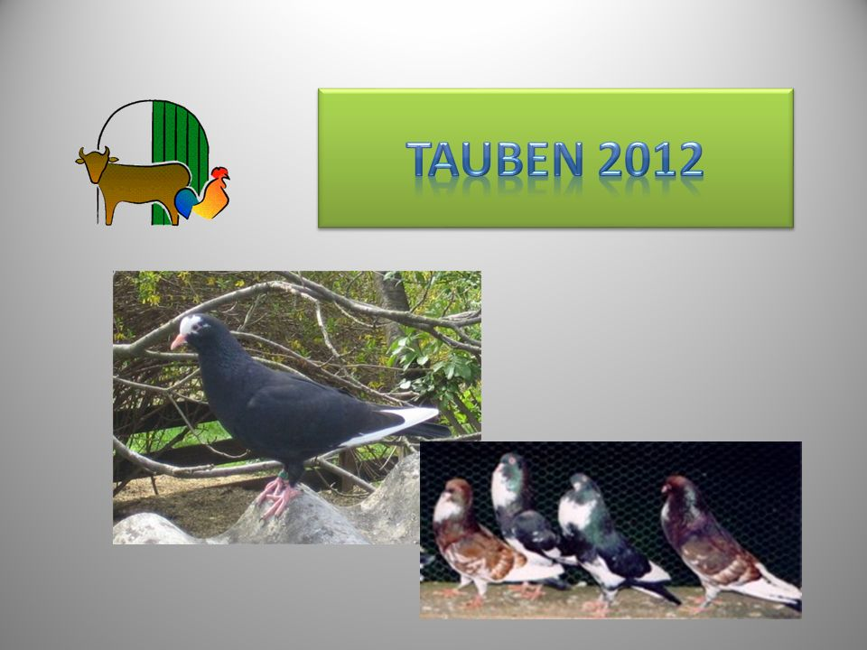 Tauben 2012 11