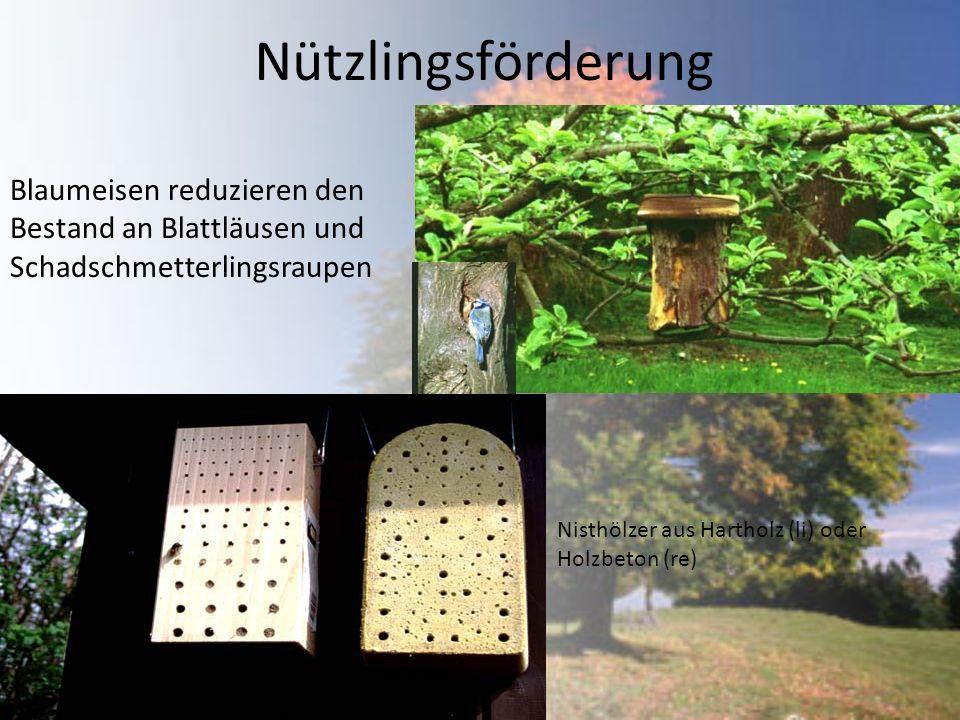 Nützlingsförderung Blaumeisen reduzieren den Bestand an Blattläusen und Schadschmetterlingsraupen.