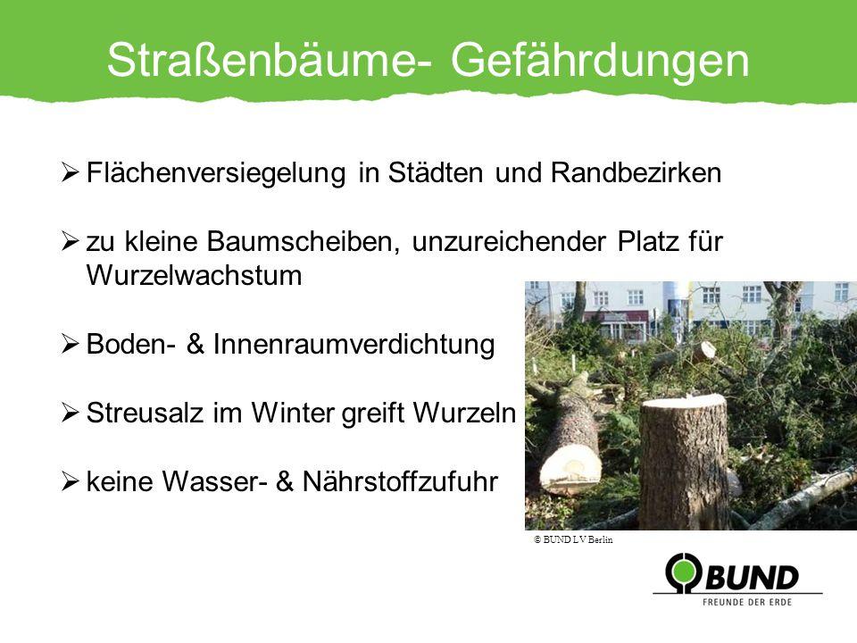 Straßenbäume- Gefährdungen