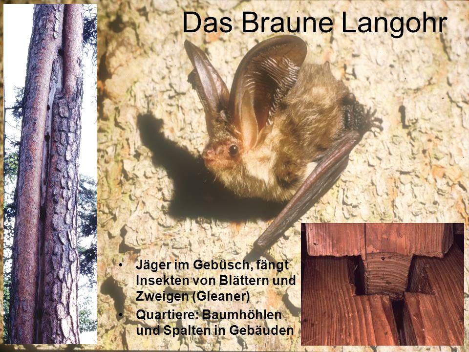 Das Braune Langohr Jäger im Gebüsch, fängt Insekten von Blättern und Zweigen (Gleaner) Quartiere: Baumhöhlen und Spalten in Gebäuden.