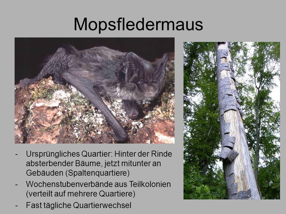 Mopsfledermaus Ursprüngliches Quartier: Hinter der Rinde absterbender Bäume, jetzt mitunter an Gebäuden (Spaltenquartiere)