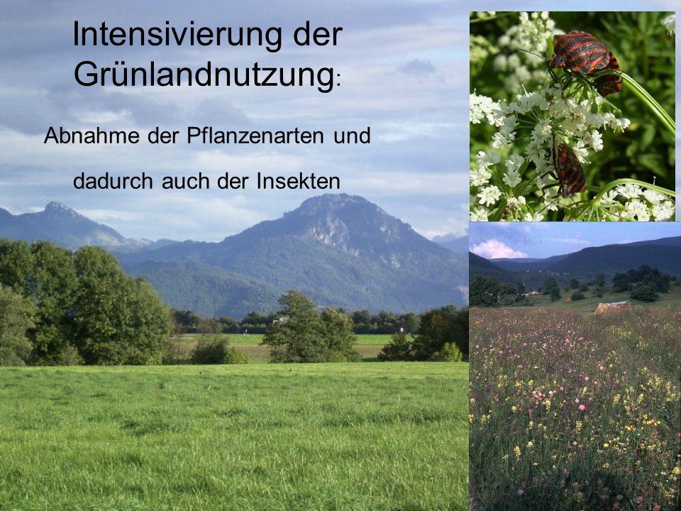 Intensivierung der Grünlandnutzung: Abnahme der Pflanzenarten und dadurch auch der Insekten
