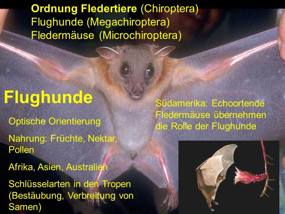 Flughunde Ordnung Fledertiere (Chiroptera) Flughunde (Megachiroptera)