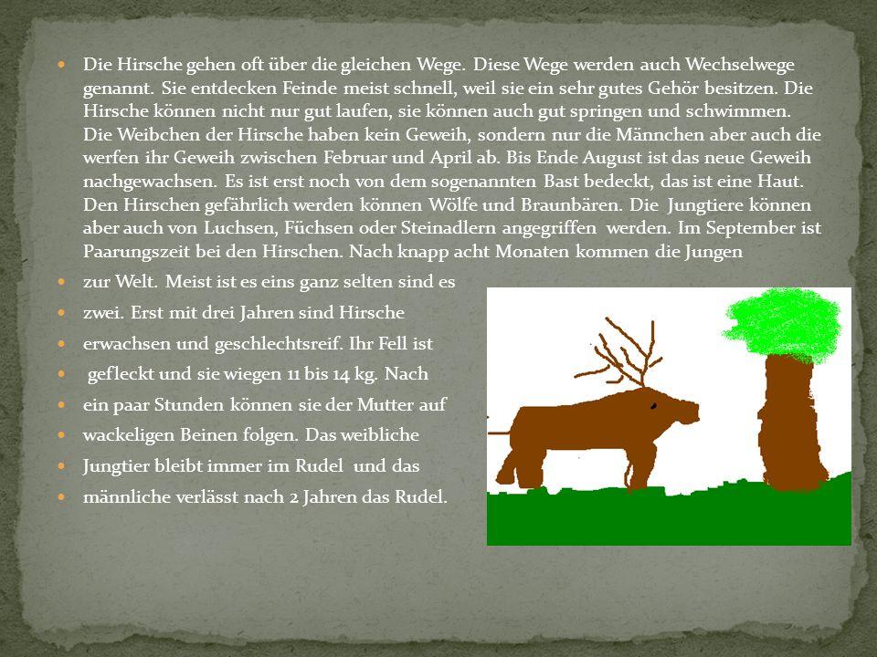 Die Hirsche gehen oft über die gleichen Wege