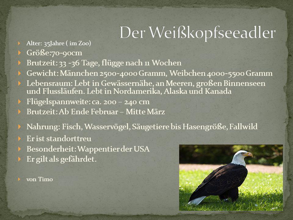 Der Weißkopfseeadler Größe:70-90cm