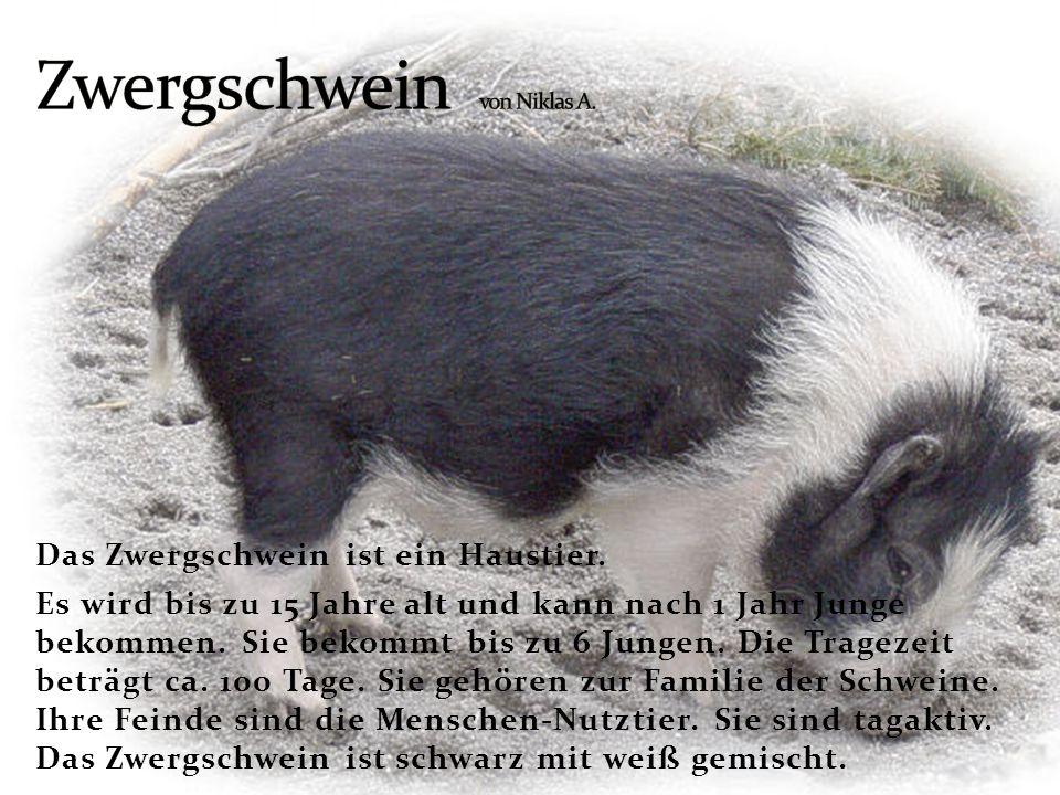 Zwergschwein von Niklas A.