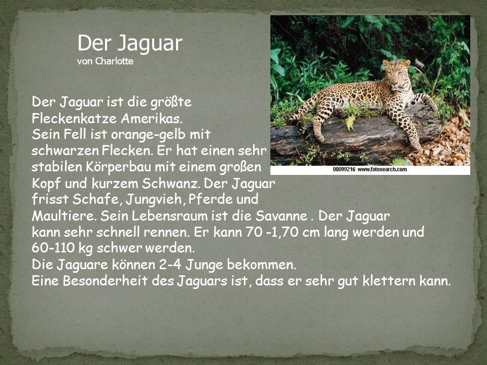 Der Jaguar Der Jaguar ist die größte Fleckenkatze Amerikas.