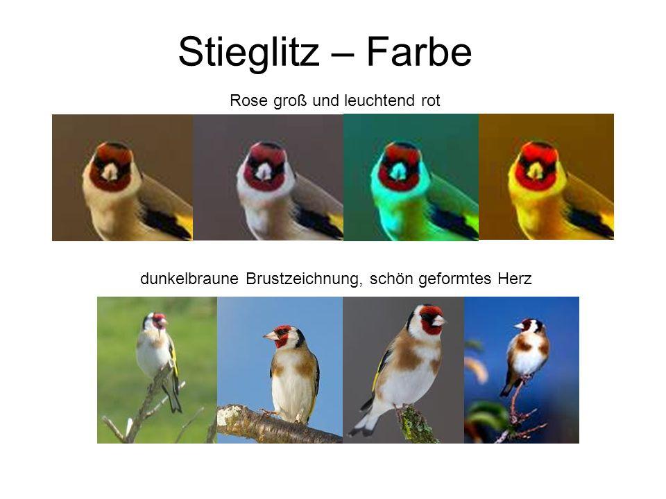 Stieglitz – Farbe Rose groß und leuchtend rot