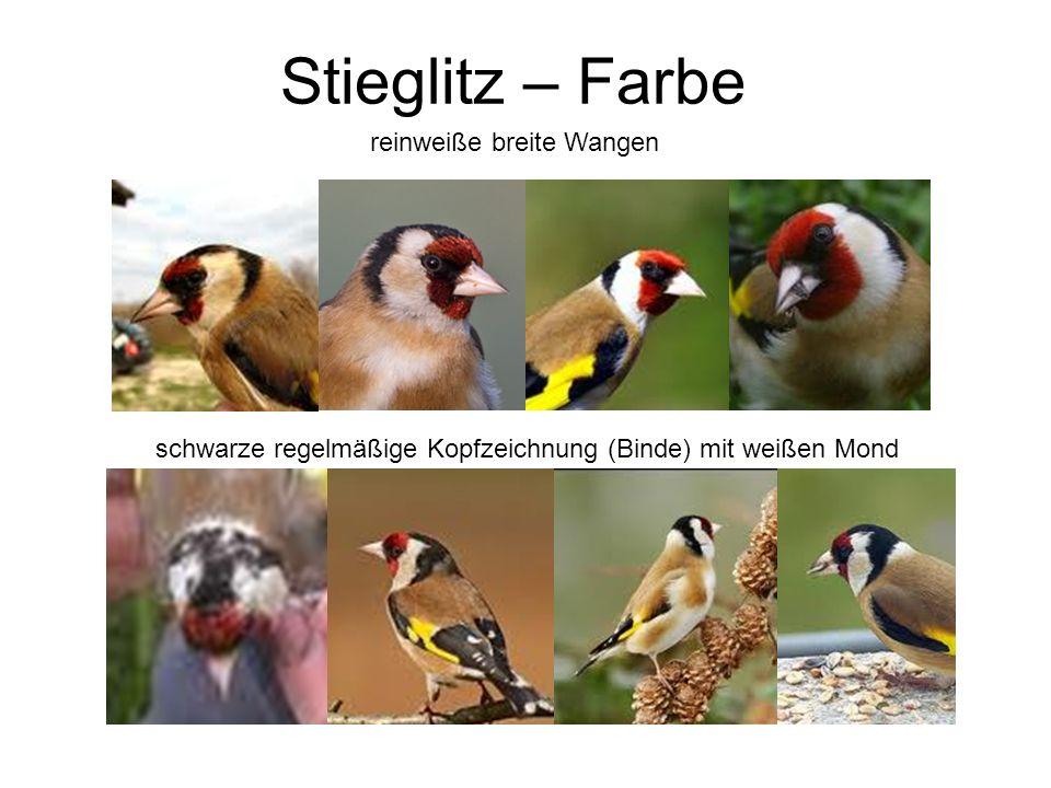 Stieglitz – Farbe reinweiße breite Wangen