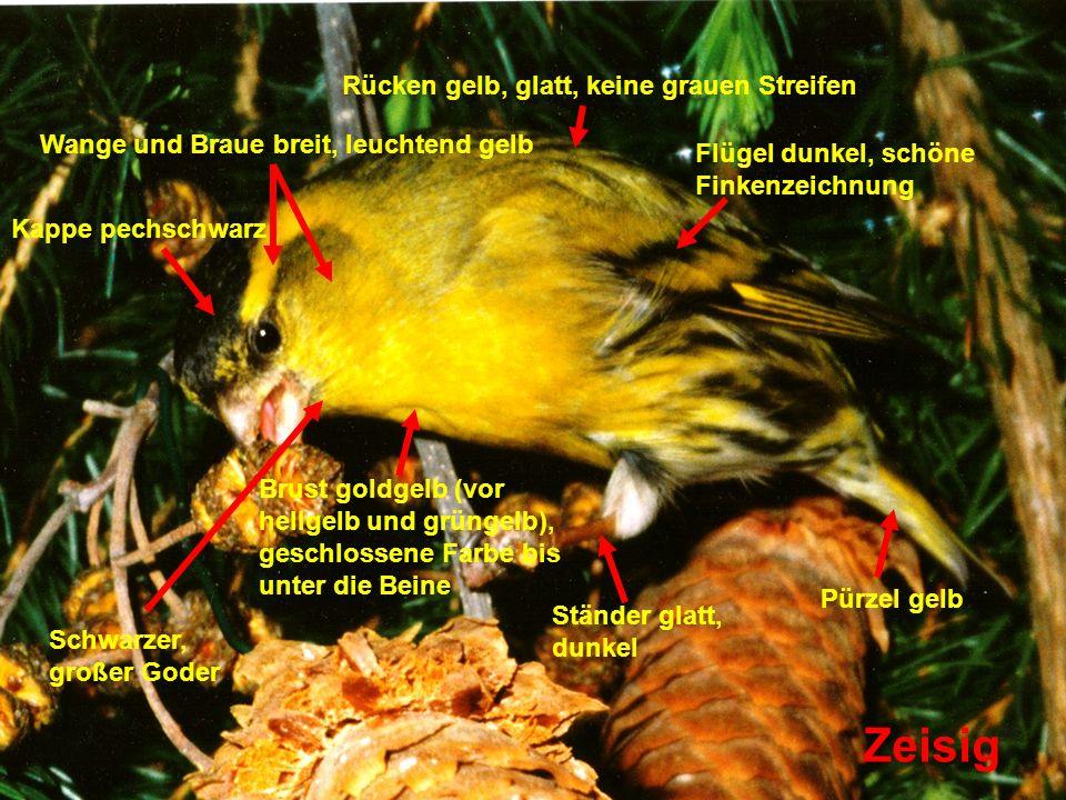 Zeisig Rücken gelb, glatt, keine grauen Streifen
