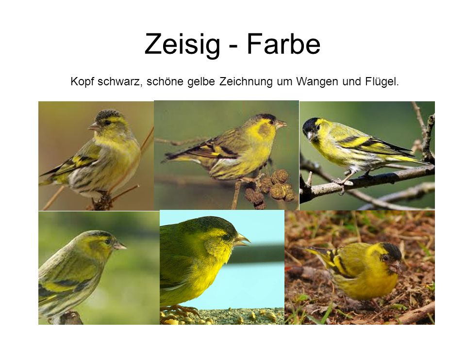 Kopf schwarz, schöne gelbe Zeichnung um Wangen und Flügel.