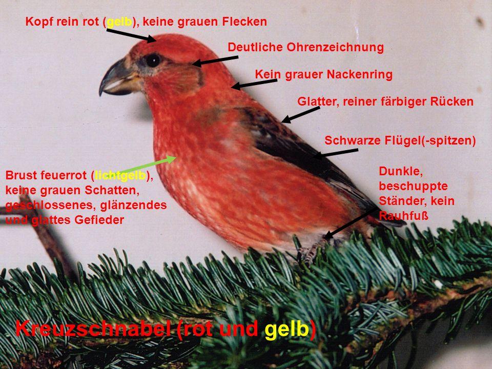 Kreuzschnabel (rot und gelb)