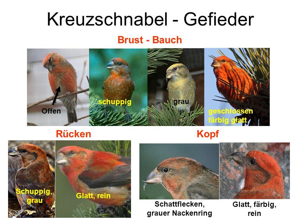 Kreuzschnabel - Gefieder