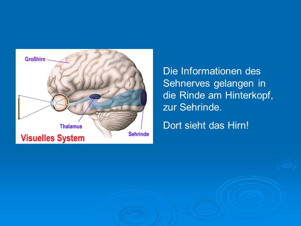 Die Informationen des Sehnerves gelangen in die Rinde am Hinterkopf, zur Sehrinde.