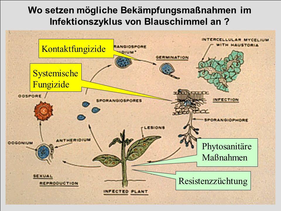 Wo setzen mögliche Bekämpfungsmaßnahmen im Infektionszyklus von Blauschimmel an