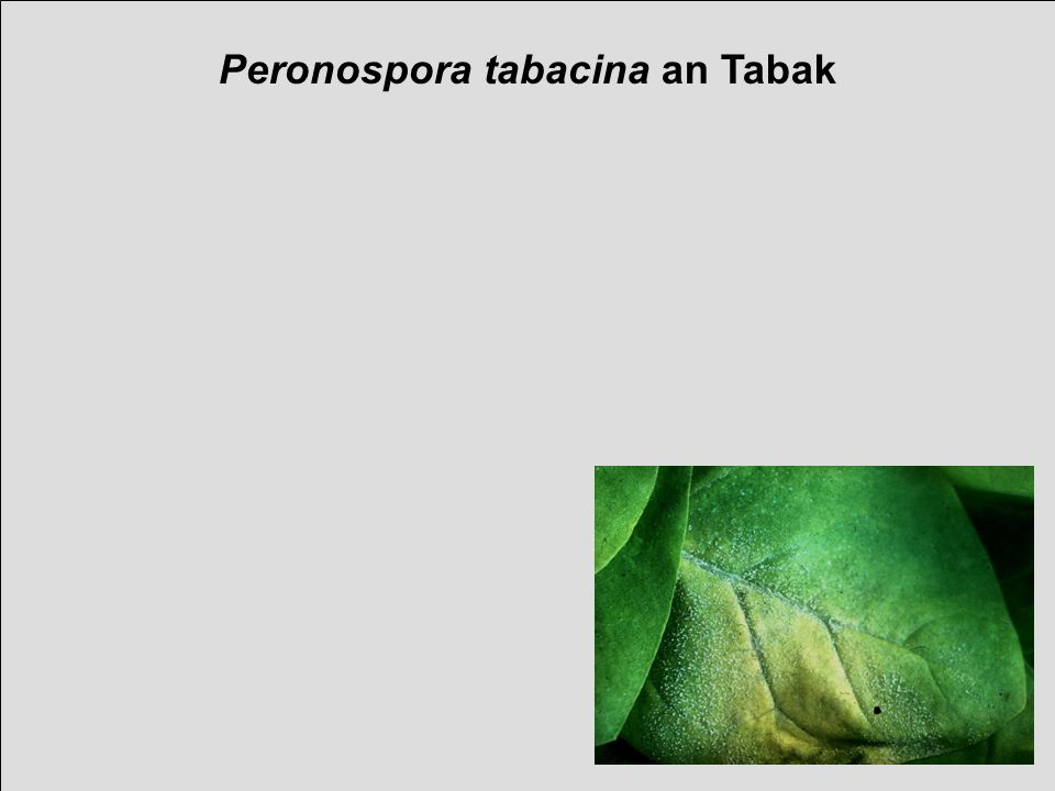 Peronospora tabacina an Tabak