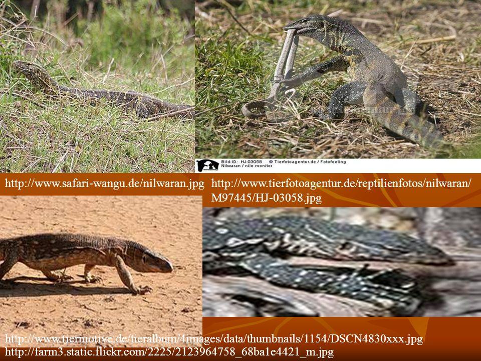 http://www.safari-wangu.de/nilwaran.jpg http://www.tierfotoagentur.de/reptilienfotos/nilwaran/M97445/HJ-03058.jpg.