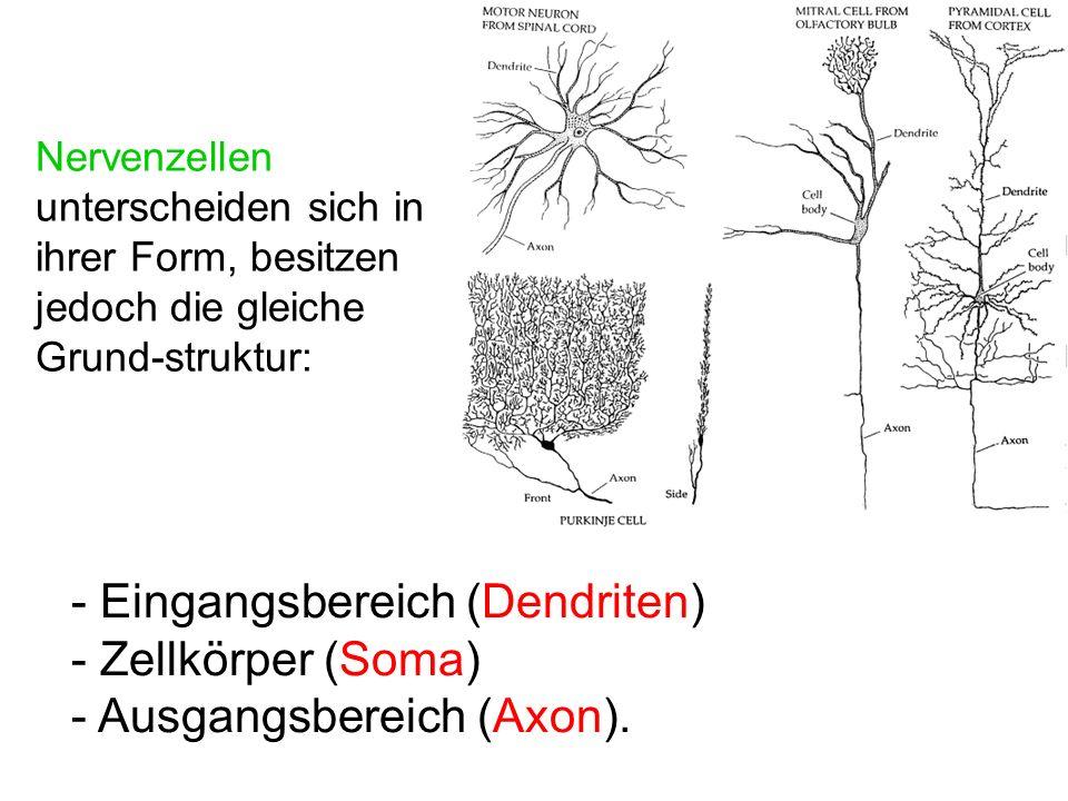 - Eingangsbereich (Dendriten) - Zellkörper (Soma)