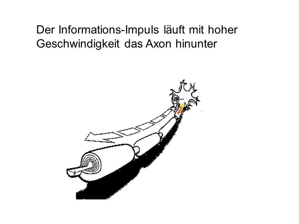 Der Informations-Impuls läuft mit hoher Geschwindigkeit das Axon hinunter