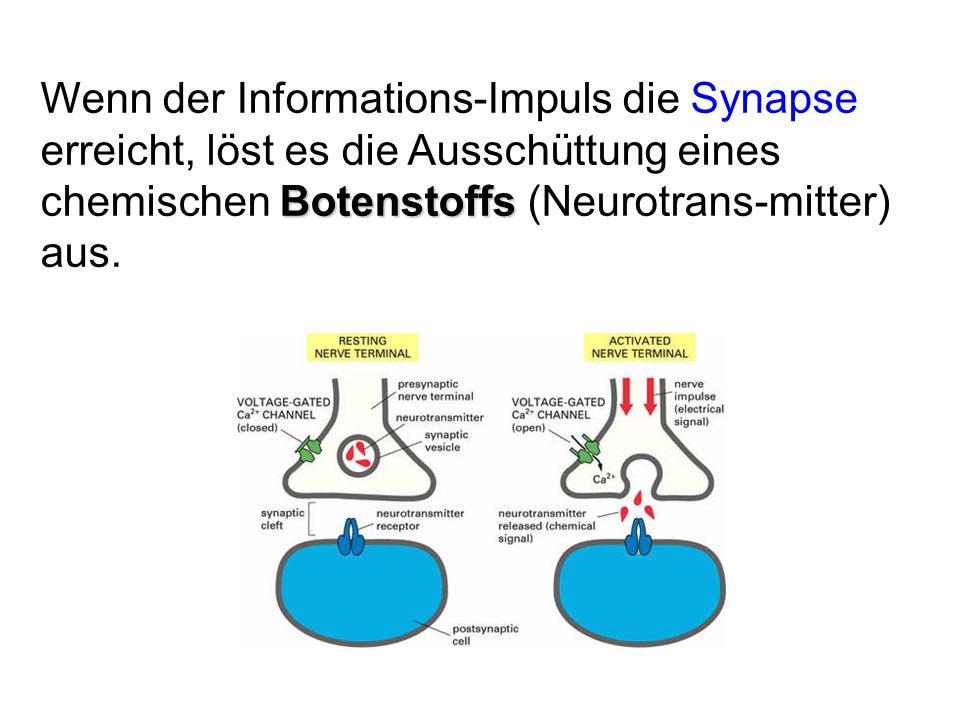 Wenn der Informations-Impuls die Synapse erreicht, löst es die Ausschüttung eines chemischen Botenstoffs (Neurotrans-mitter) aus.