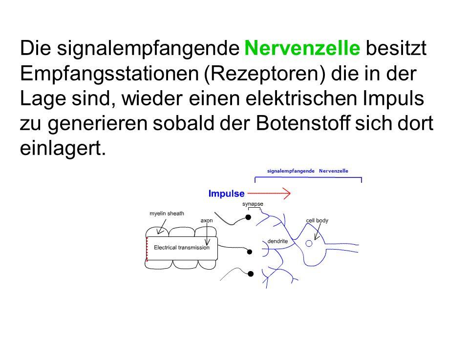 Die signalempfangende Nervenzelle besitzt Empfangsstationen (Rezeptoren) die in der Lage sind, wieder einen elektrischen Impuls zu generieren sobald der Botenstoff sich dort einlagert.