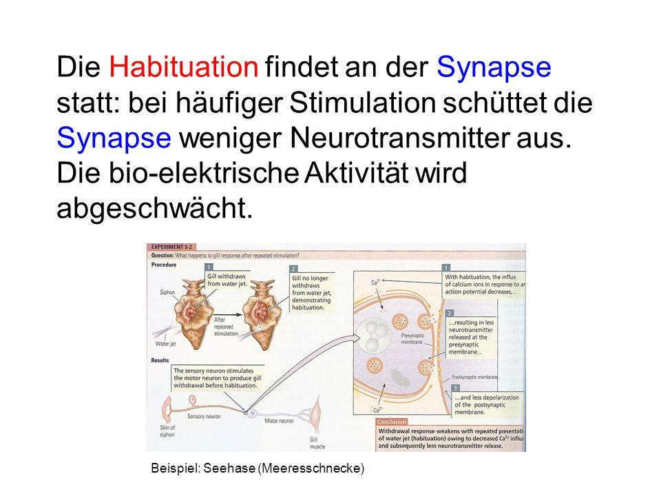 Die Habituation findet an der Synapse statt: bei häufiger Stimulation schüttet die Synapse weniger Neurotransmitter aus. Die bio-elektrische Aktivität wird abgeschwächt.
