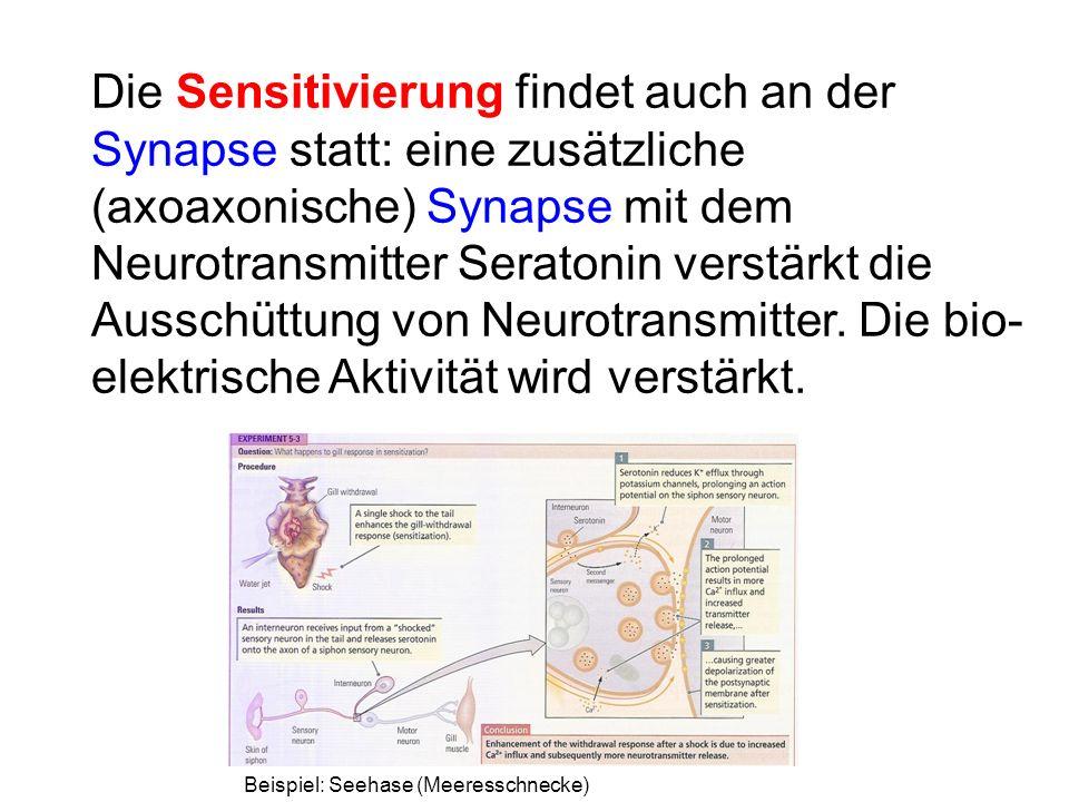 Die Sensitivierung findet auch an der Synapse statt: eine zusätzliche (axoaxonische) Synapse mit dem Neurotransmitter Seratonin verstärkt die Ausschüttung von Neurotransmitter. Die bio-elektrische Aktivität wird verstärkt.