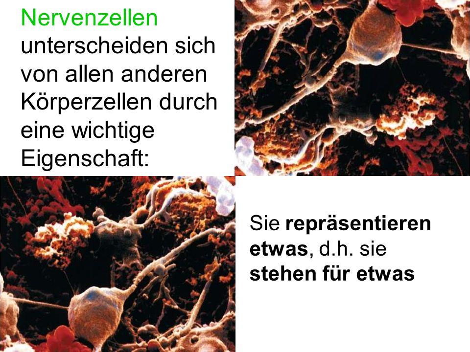 Nervenzellen unterscheiden sich von allen anderen Körperzellen durch