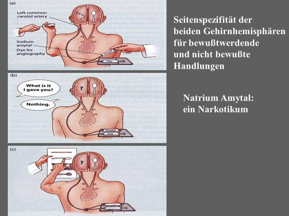 beiden Gehirnhemisphären für bewußtwerdende und nicht bewußte