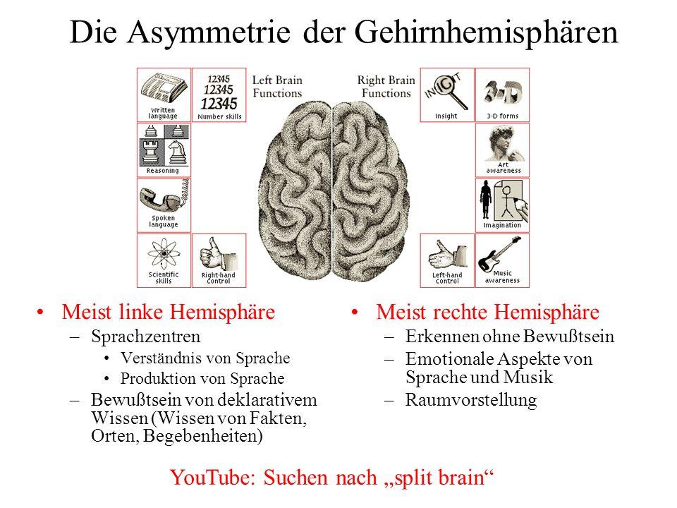 Die Asymmetrie der Gehirnhemisphären