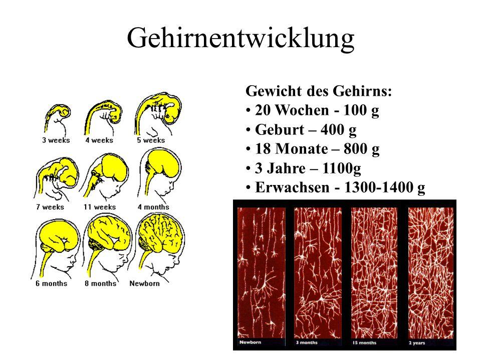 Gehirnentwicklung Gewicht des Gehirns: 20 Wochen - 100 g