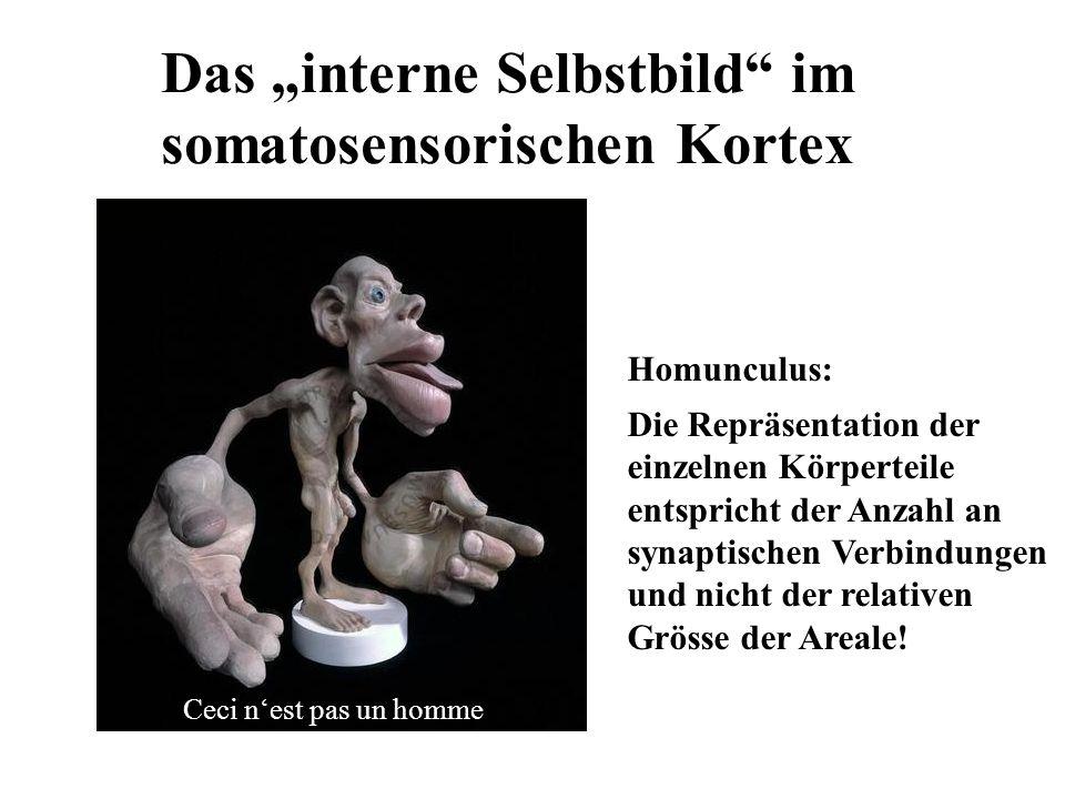 """Das """"interne Selbstbild im somatosensorischen Kortex"""