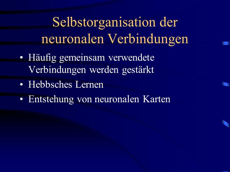 Selbstorganisation der neuronalen Verbindungen