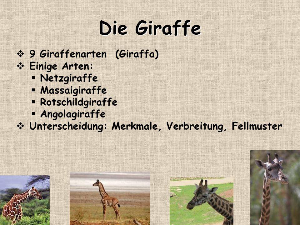 Die Giraffe 9 Giraffenarten (Giraffa) Einige Arten: Netzgiraffe