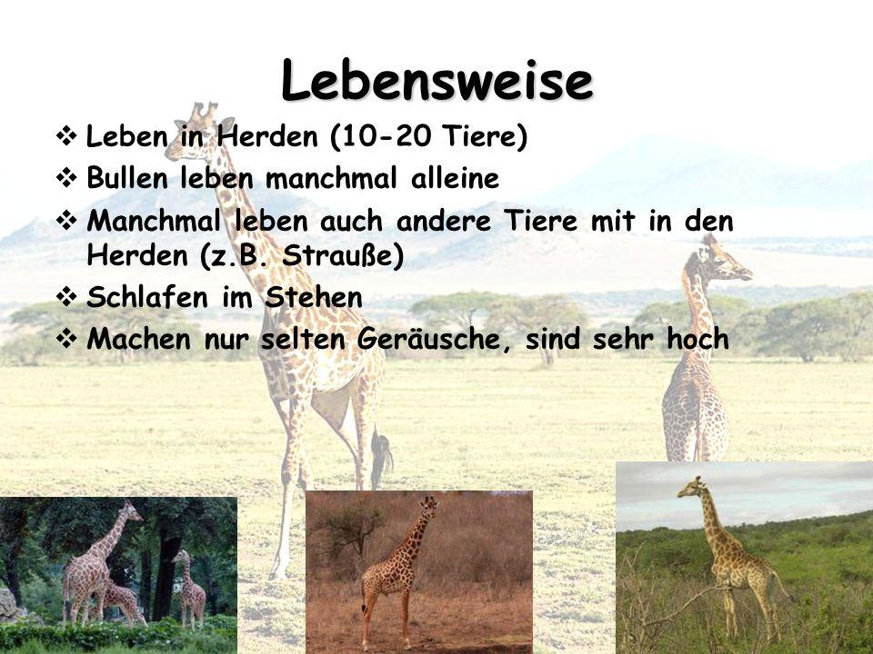 Lebensweise Leben in Herden (10-20 Tiere)