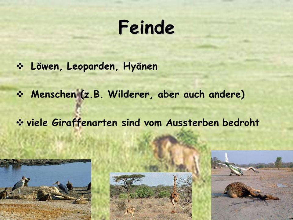 Feinde Löwen, Leoparden, Hyänen