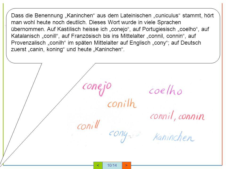 """Dass die Benennung """"Kaninchen aus dem Lateinischen """"cuniculus stammt, hört man wohl heute noch deutlich. Dieses Wort wurde in viele Sprachen übernommen. Auf Kastilisch heisse ich """"conejo , auf Portugiesisch """"coelho , auf Katalanisch """"conill , auf Französisch bis ins Mittelalter """"connil, connin , auf Provenzalisch """"conilh im späten Mittelalter auf Englisch """"cony ; auf Deutsch zuerst """"canin, koning und heute """"Kaninchen ."""