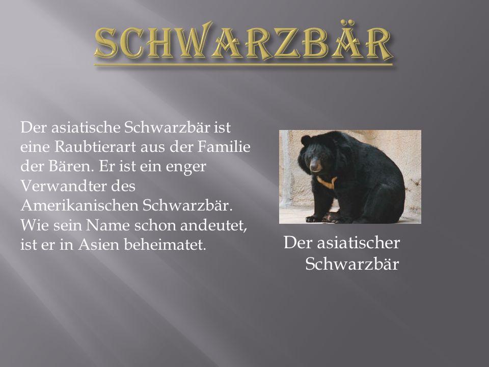 Schwarzbär Der asiatischer Schwarzbär