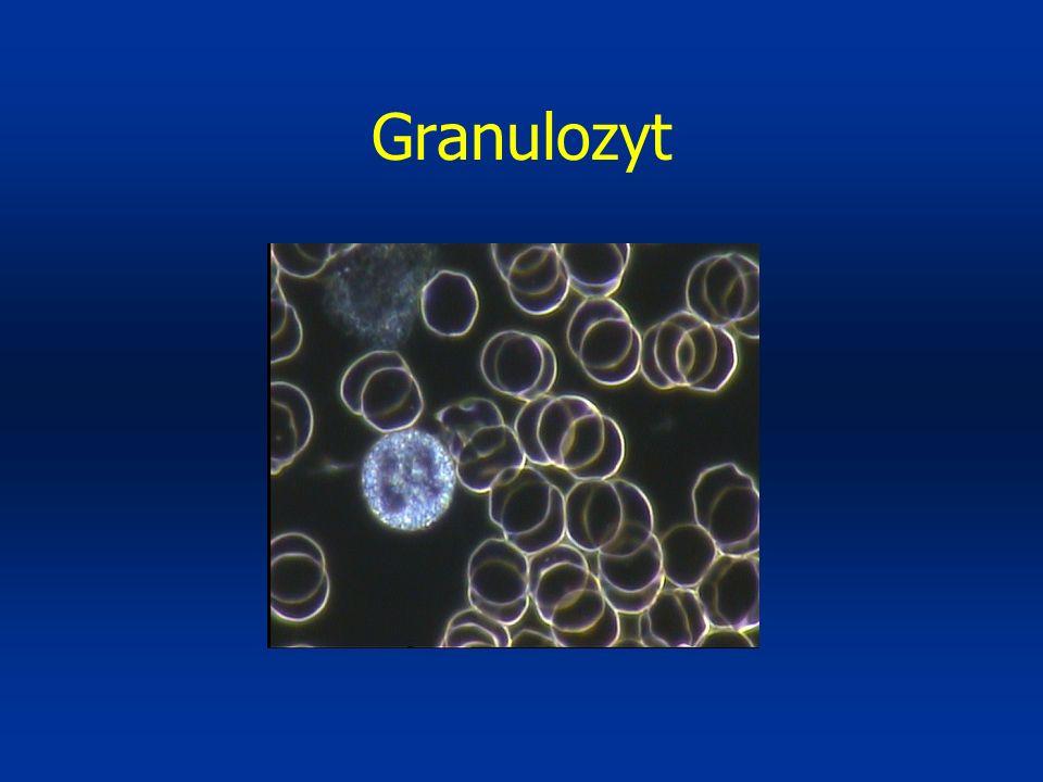 Granulozyt
